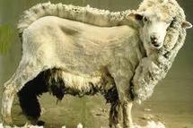 La tonte des moutons aux Jeux Olympiques, la Nouvelle-Zélande en rêve