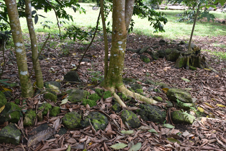 Certaines tombes sont envahies par les arbres.