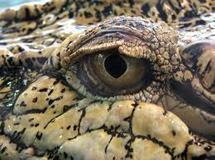 """Le crocodile cubain du pape, """"ambassadeur de la défense de l'environnement"""""""