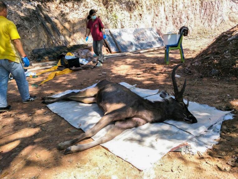 En Thaïlande un cerf sauvage découvert mort avec l'estomac plein de plastiques