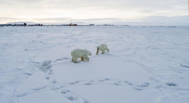 Changement climatique: 56 ours blancs aux abords d'un village russe