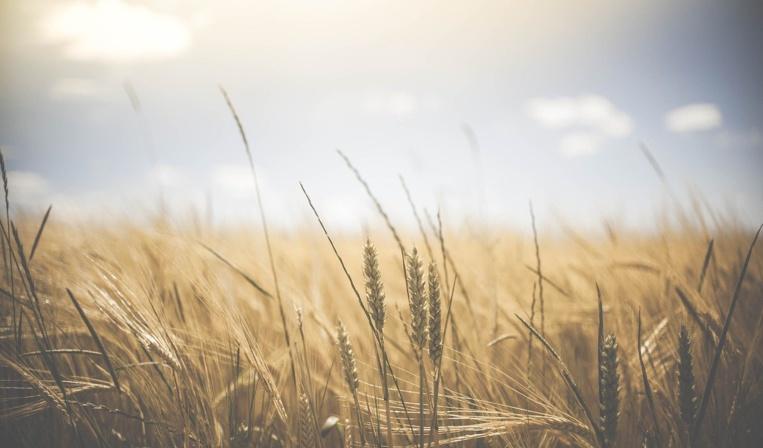 """Climat: menaces sur les principaux """"greniers à blé"""" de la planète"""