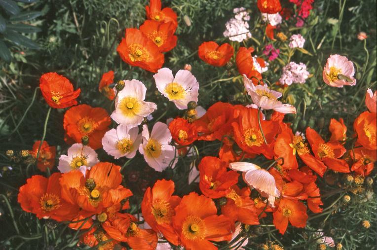 L'été est très court en Patagonie, surtout à Punta Arenas et les tombes, durant quelques jours, se couvrent de fleurs.