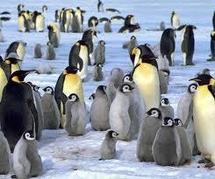 Antarctique: les manchots empereurs deux fois plus nombreux qu'estimé