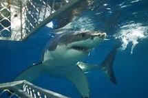 Le tourisme lié aux requins, une manne pour Fidji