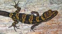 Découverte d'un gecko « bourdon » en Papouasie-Nouvelle-Guinée