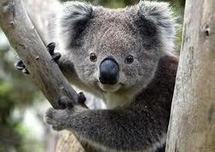 Le koala classé parmi les espèces vulnérables en Australie
