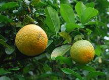 Propriétés médicinales et vertus magiques de l'Orange de Tahiti