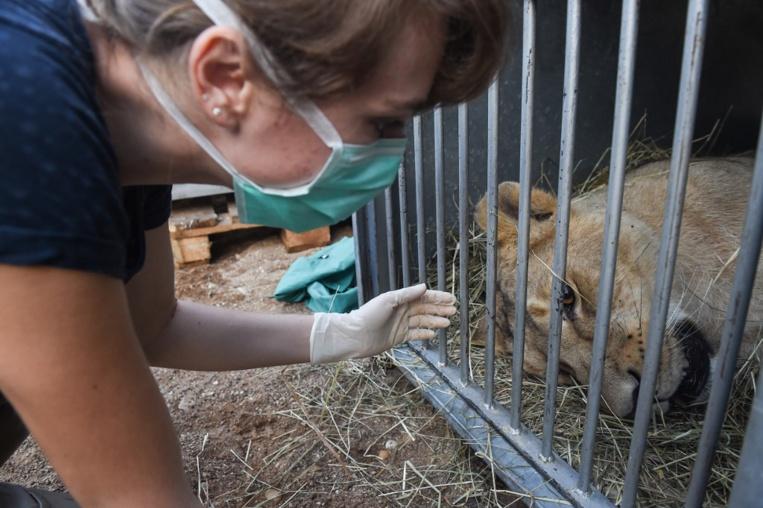 Une jeune lionne d'Asie est morte au muséum de Besançon, où elle était née en 2014