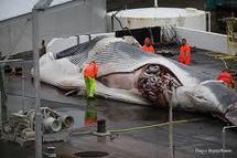 Un conflit social perturbe la chasse à la baleine en Islande