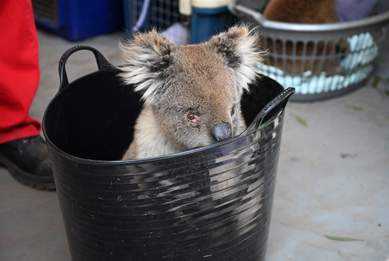 Des dizaines de koalas soignés dans un hôpital de campagne sur l'île Kangourou