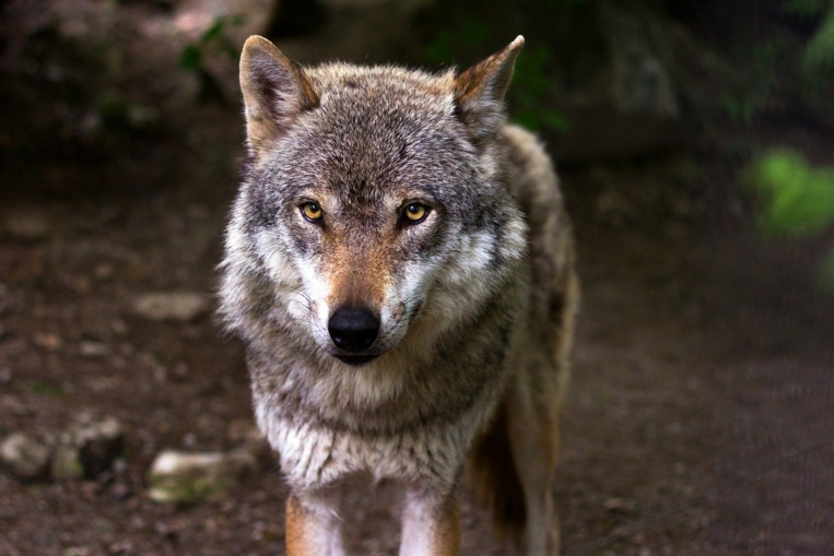 Après la Charente-Maritime, un loup identifié en Charente, premier depuis près d'un siècle