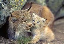 Vaste étude pour estimer le nombre de lynx dans le massif du Jura