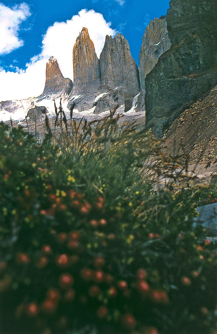 """Un petit buisson de myrtilles de Patagonie (""""chaura"""", Pernettya mucronata) est parvenu à fleurir et à produire des fruits (délicieux) juste au pied des tours. Ultime trace de vie dans un monde exclusivement minéral."""