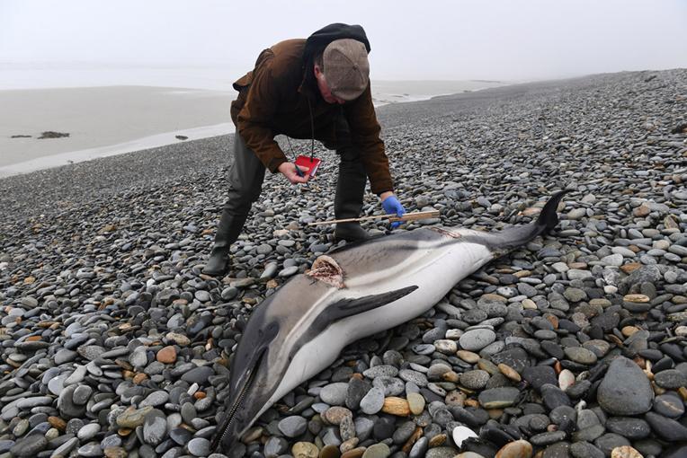 Un dauphin dépecé découvert sur une plage du Finistère