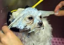 Faux testicules et masques de beauté pour chiens très spéciaux