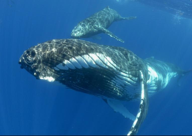 Un plus grand nombre de duos baleine/baleineaux a été observé en 2019
