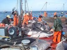 L'Europe renforce sa réglementation contre la pêche au thon rouge