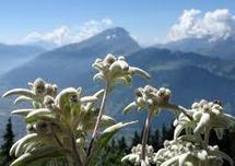 L'extinction de la flore alpine plus importante que prévue selon une étude