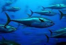 Des flottes non autorisées dans les zones de thon rouge de Méditerranée
