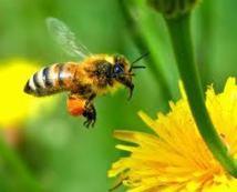 La France veut interdire le pesticide Cruiser pour protéger les abeilles