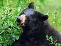 Plongé dans un jacuzzi extérieur, il se fait attaquer par un ours noir