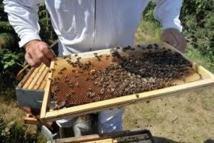 Un virus transmis par une mite tuerait des millions d'abeilles dans le monde