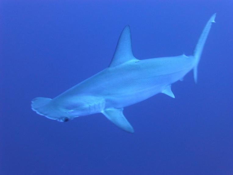 Galapagos: marquage de femelles requin-marteau pour localiser les zones de naissance