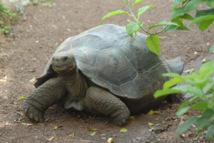 Galapagos: une espèce de tortue géante disparaît sans descendance