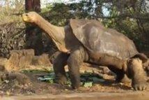 """La mort de """"Georges"""" la tortue, unique survivant et symbole des Galapagos"""