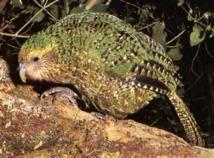 Menacé de disparition, le kakapo de Nouvelle-Zélande reprend des couleurs