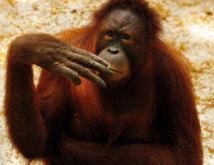 Isolement forcé pour Tori l'orang-outan, fumeuse invétérée