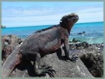 Un touriste arrêté pour un vol d'iguanes dans les îles Galapagos