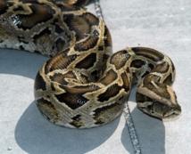 Dispense de peine pour un passionné qui détenait une centaine de pythons