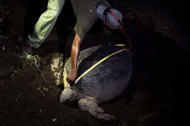 A Mayotte, recrudescence de braconnage de tortues à cause du confinement