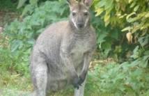 Un kangourou en vadrouille au bord d'une nationale de Charente