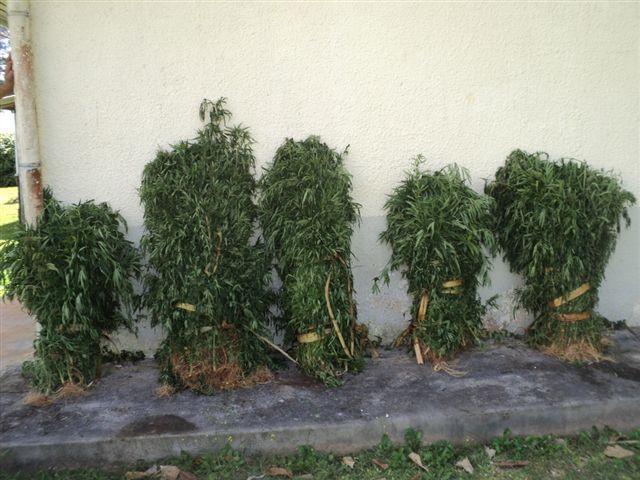 Paka : 717 plants saisis à Rurutu