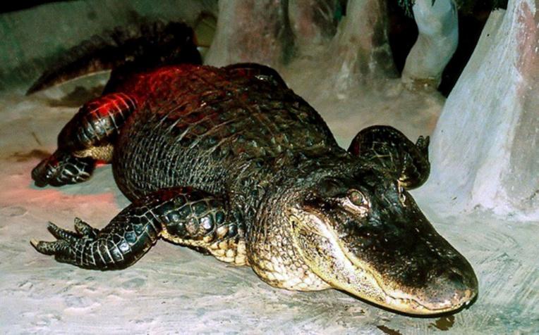 Un alligator légendaire meurt à 84 ans au zoo de Moscou
