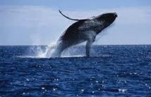 Brésil : nombre record de baleines à bosse sur le littoral en 2011