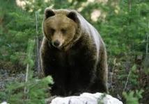 Les défenseurs de l'ours appellent Hollande à reprendre les réintroductions