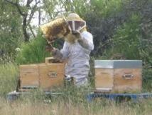 Le nombre d'apiculteurs suit celui des abeilles: en chute libre