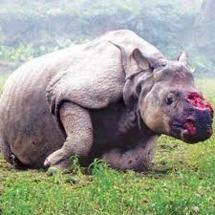 Le massacre des rhinocéros s'accélère en Afrique du Sud