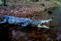 Un crocodile retrouvé mort amputé de sa queue en début de semaine dans le Nord-ouest de l'Australie (Source photo : Police de l'État des Territoires du Nord)   [