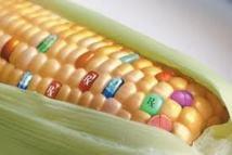La France réclame des clarifications sur la culture des OGM en Europe