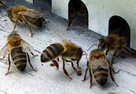 Pour sauvegarder ses abeilles, Rhône-Alpes octroie 1,5 million d'euros sur 4 ans
