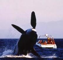 Whale Watching : le gouvernement tongien veut réglementer