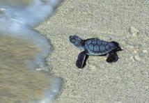Protection des tortues: la Grèce traduite en justice par Bruxelles