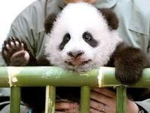 Thaïlande: un panda géant star de télé-réalité quitte les écrans