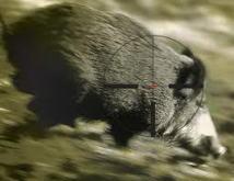 Sangliers: les agriculteurs demandent l'aide de l'Etat et des chasseurs