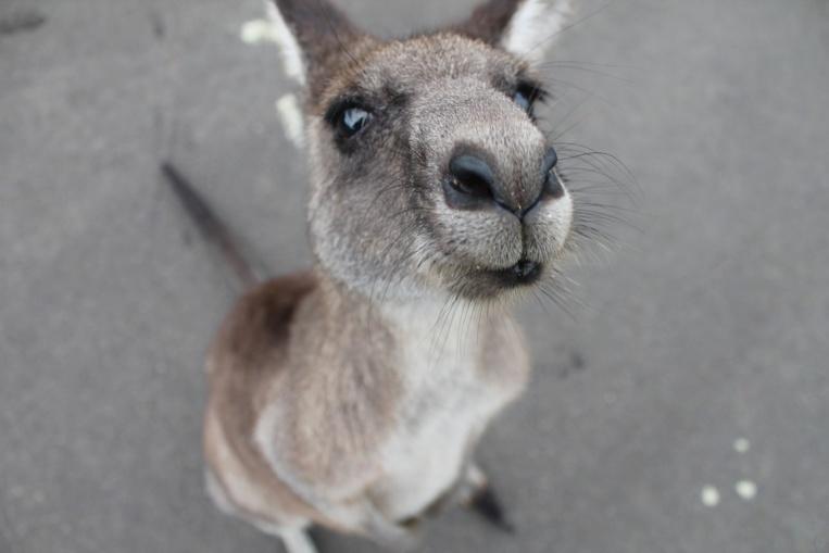 Un kangourou fait faux bond à son propriétaire et sème la pagaille en Floride